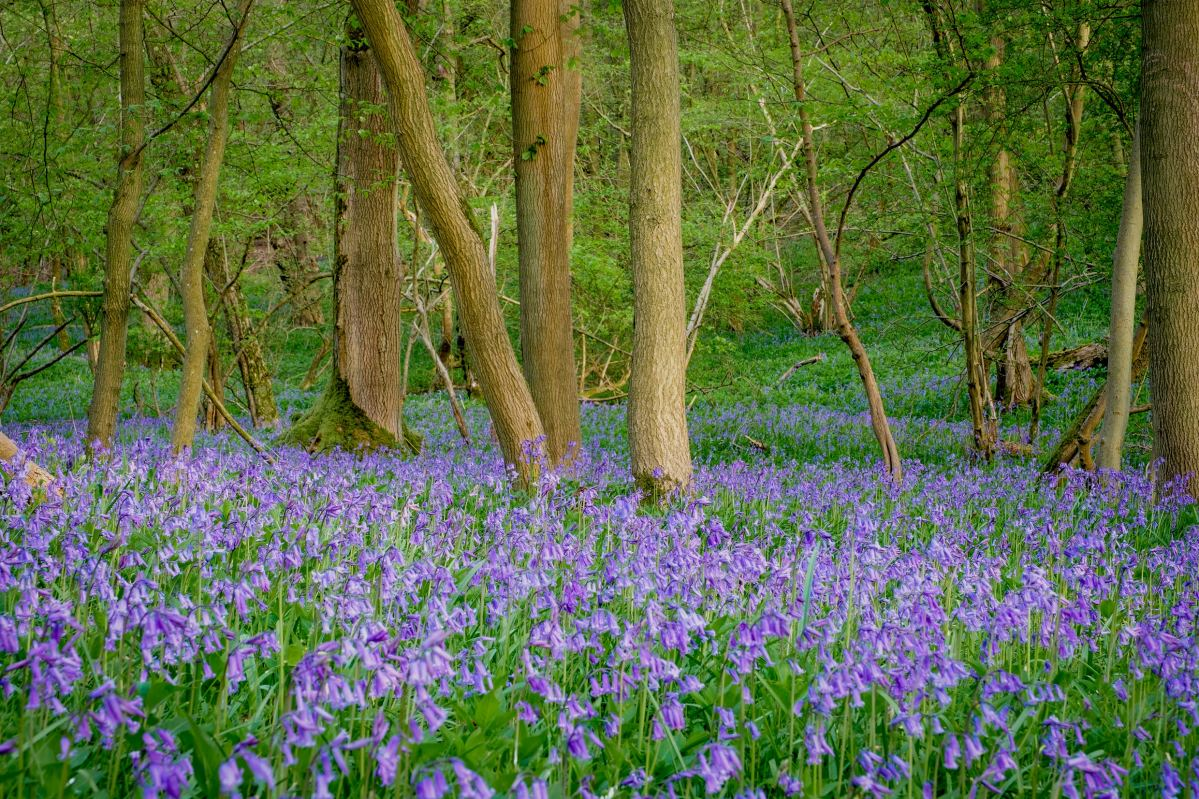 Bluebell Woodland Photography